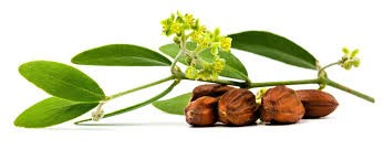SIMMONDSIA CHINENSIS SEED OIL