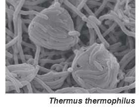 THERMUS THERMOPHILLUS FERMENTED
