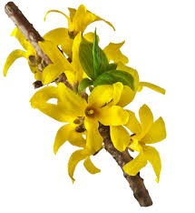 3. FORSYTHIA SUSPENSA FRUIT EXTRACT