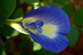 Butterfly pea extract