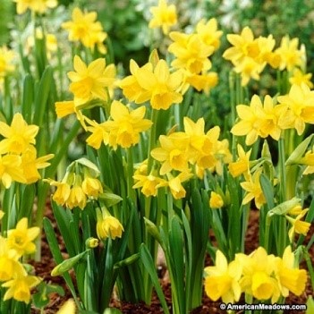 NARCISSUS PSEUDO-NARCISSUS FLOWER EXTRACT