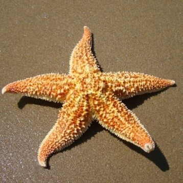 HYDROLYZED STARFISH EXTRACT